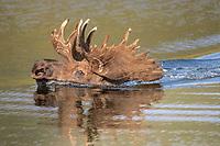 bull moose, Alces alces, swimming across a lake in Denali National Park,, Alaska, USA