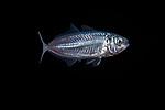 Atlantic Horse Mackerel,Trachurus trachurus 11-7-17-4068 ID by Oyvind Eriksen Saether, Norway