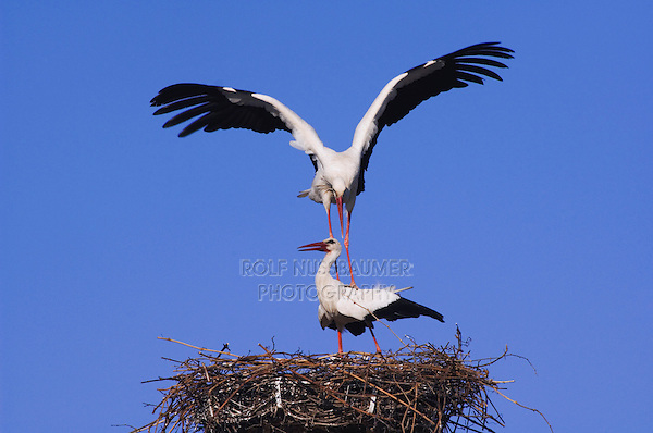 White Stork, Ciconia ciconia, pair on nest mating, Rust, National Park Lake Neusiedl, Burgenland, Austria, April 2007