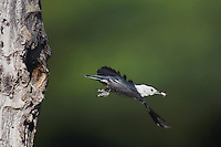 White-breasted Nuthatch, Sitta carolinensis,adult male removing fecal sac from cavity in aspen tree, Rocky Mountain National Park, Colorado, USA, June 2007