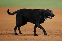 Emmy Lou supervises the Winston-Salem Dash grounds crew as they drag the infield between innings of the game against the Bowling Green Hot Rods at Truist Stadium on September 9, 2021 in Winston-Salem, North Carolina. (Brian Westerholt/Four Seam Images)
