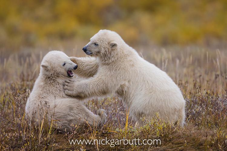 Polar Bear Cubs (7-8 months old) (Ursus maritimus) play fighting. Summer season (Sept), tundra vegetation on shores of Hudson Bay, Canada.