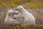 Polar Bear Cubs (7-8 months old) (Ursus maritimus) play fighting. Summer season (Sept), tundra vegetation on shores of Hudson Bay, Canada.