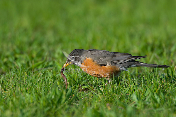 American Robin (Turdus migratorius) catching worm.