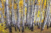 Fall colors have arrived at the Kolob Plateau in Southern Utah.