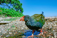 takahe, Porphyrio hochstetteri, also known as the South Island takahe, Notornis mantelli, Tiritiri Matangi Island, New Zealand