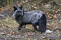 Silver Fox looking over its shoulder on a fall day - CA