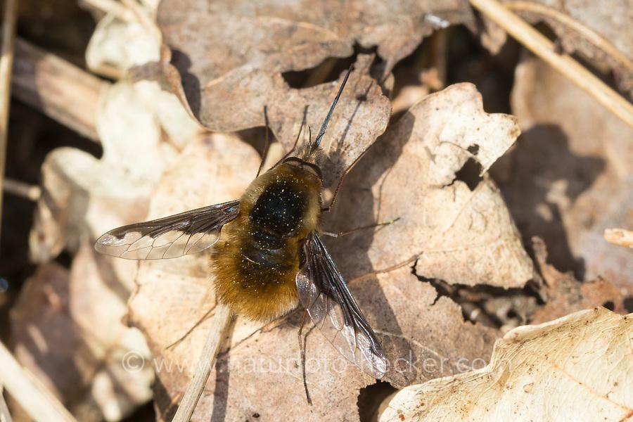 Großer Wollschweber, Wollschweber, Hummelschweber, Bombylius major, Large Bee-fly, dark-edged bee-fly, greater bee fly, beeflies, beefly, bee flies, bee fly, Le grand bombyle, Bombyliidae