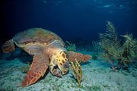 loggerhead sea turtle, Caretta caretta, feeding on triton's trumpet shell, Charonia variegata, Bahamas, Caribbean Sea, Atlantic Ocean