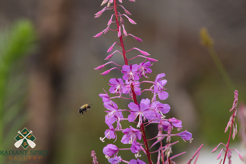 """""""Fireweed and Bumblebee""""<br /> <br /> The brilliant purple flowers of the fireweed seem to be irresistible to bees and photographers alike.<br /> ~ Day 118 of Inspired by Wilderness: A Four Season Solo Canoe Journey"""