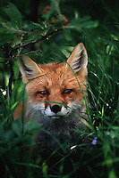 A fox (Vulpes vulpes) watches from within a leafy glade.