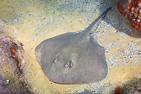 eastern shovelnose stingaree, Trygonoptera imitata, Merimbula, New South Wales, Australia