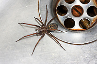 Große Winkelspinne, Hauswinkelspinne, Haus-Winkelspinne, Hausspinne, Kellerspinne, Tegenaria atrica, Eratigena atrica, Tegenaria gigantea, giant European house spider, giant house spider, larger house spider, cobweb spider
