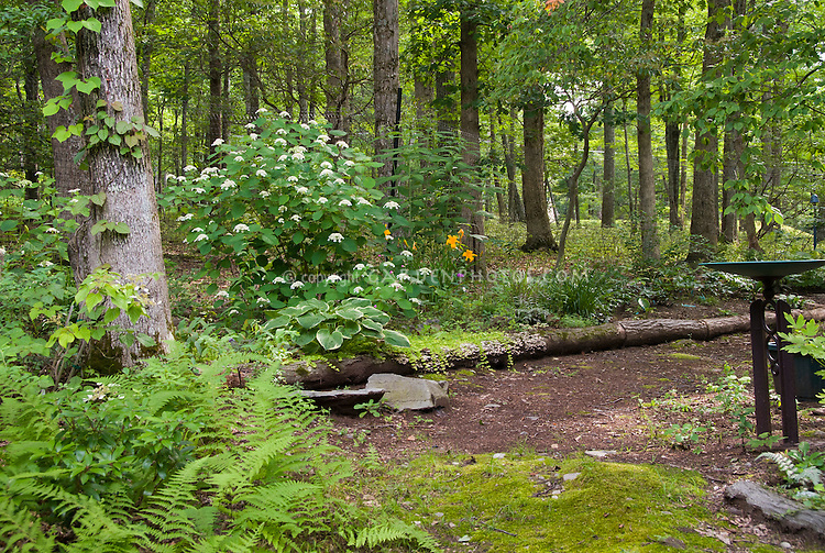 Woodland dry shade garden in July with Hydrangea arborescens 'White Dome' , Hosta Christmas Tree, ferns, Schizophrama Moonlight, Heuchera, Hemerocallis, Carex, Galium odoratum, Lysimachia nummularia Aurea, Athyrium, moss, trees