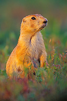 Black-tailed Prairie Dog (Cynomys ludovicianus) in late evening light.  Summer.