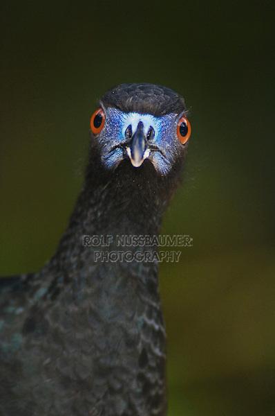 Black Guan, Chamaepetes unicolor, adult close up, Bosque de Paz, Central Valley, Costa Rica, Central America