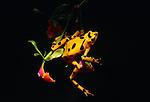 Golden frog on orchid, El Nispero region, Panama