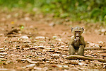 Olive Baboon (Papio anubis) young feeding on fruit, Kibale National Park, western Uganda