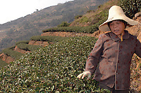 "Tu Yin Zhu, 60 works on her 2 acre tea plantation in the mountains outside Fuding City, Fujian Province where ""Silver Tip"" tea is produced.  Zhy makes only 4,000 RMB  gross (about 250 pounds) annually from her entire plantation. The tea sells for upto 20 pounds a pot in the UK."