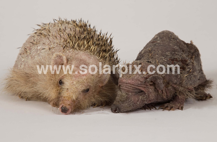 **ALL ROUND PICTURES FROM SOLARPIX.COM**                                             **NO UK NEWSPAPER PUBLICATION**.**UK MAGAZINE & SUPPLEMENT PUBLICATION ONLY** AND NO PUBLICATION IN AUSTRALIA, BELGIUM, FRANCE, GERMANY, ITALY, SCANDINAVIA AND USA**                                                                                  Caption: Spud meets his match...at last! .Spud the hedgehog has found himself a girlfriend after being introduce to a spineless female hedgehog nicknamed Shazza.  The little girl was discovered on the 9 October in Barton-le-Clay, Bedford and like Spud she has a skin condition which has made her spines fall out.  the couple have now become inseparable. London, UK. 22 October 2010                                                                        This pic: Spud the hedgehog and girlfriend                                                                                             JOB REF: 12365 SFE       DATE:  22_10_2010                                                          **MUST CREDIT SOLARPIX.COM OR DOUBLE FEE WILL BE CHARGED**                                                                      **MUST AGREE FEE BEFORE ONLINE USAGE**                               **CALL US ON: +34 952 811 768 or LOW RATE FROM UK 0844 617 7637**