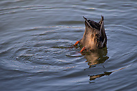 A female Mallard duck is caught dabbling, tipping forward into the water to feed on what is just below the surface of a canal on Alameda, California's Bay Farm Island.