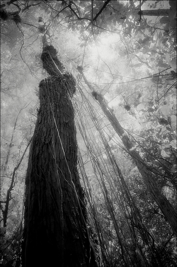 """Tree and lianas<br /> From """"Beyond Red"""" series. Florida Everglades, 2008"""