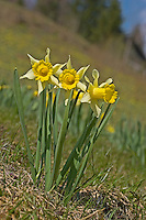 Gelbe Narzisse, Osterglocke, Osterglöckchen, Falscher Narzissus, Trompeten-Narzisse, Narzissen, Narcissus pseudonarcissus, wild daffodil, Tenby daffodil, Lent lily
