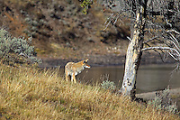 Coyote on banks of Yellowstone River. Yellowstone National Park, Wyoming