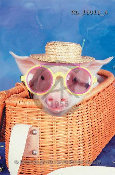 Interlitho, Alberto, ANIMALS, pigs, photos, pig, basket, glasses(KL15018/4,#A#) Schweine, cerdos
