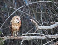 I haven't had many encounters with this, the most widespread owl species in the world. This one finally came out into the open as darkness descended.
