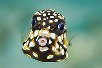 smooth trunkfish, Lactophrys triqueter, Bonaire, ABC Islands, Netherlands Anitilles, Caribbean Sea, Atlantic Ocean