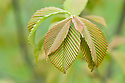 New young leaves of Chokeberry leafed whitebeam (Sorbus aronioides), mid March.