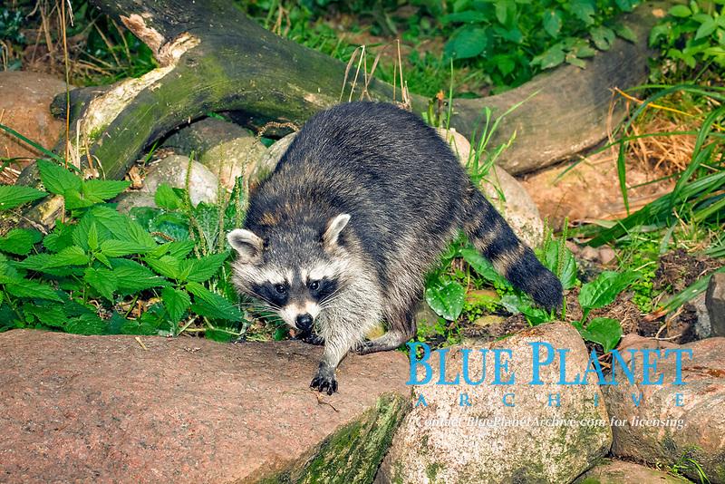 Common Raccoon (Procyon lotor)
