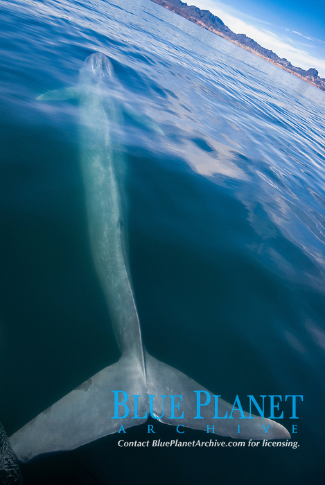 Blue whale (Balaenoptera musculus) Gulf of California.The entire length of a blue whale stretched out in front of a boat., Baja California, Mexico, Pacific Ocean