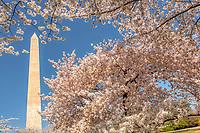 Cherry Blossoms Washington Monument