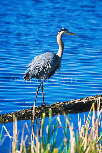 Great Blue Heron walking on a floating log in a pond in Montana