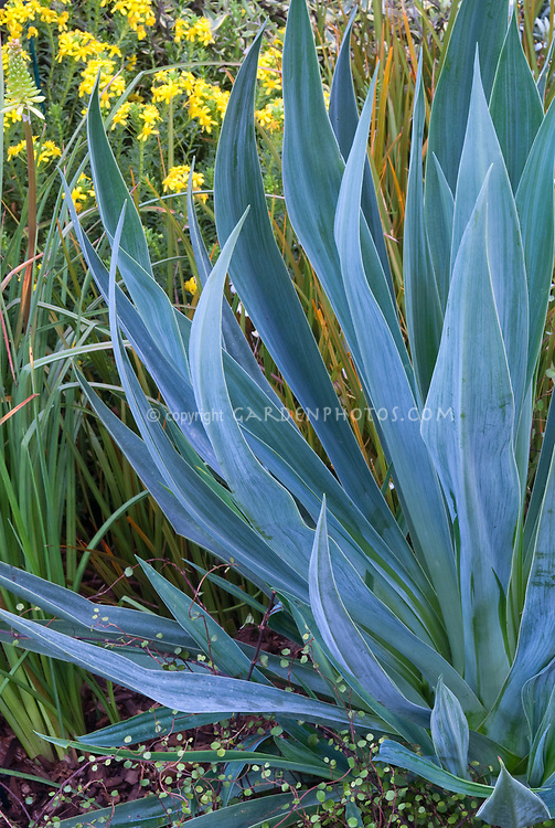 Beschorneria yuccoides 'Quicksilver' (Mexican Lily, Mexican False Red Yucca, Amole, Sisi)