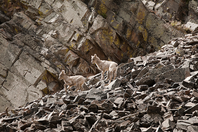 Bighhorn Sheep lambs on a rock slide in Rock Creek drainage in western Montana