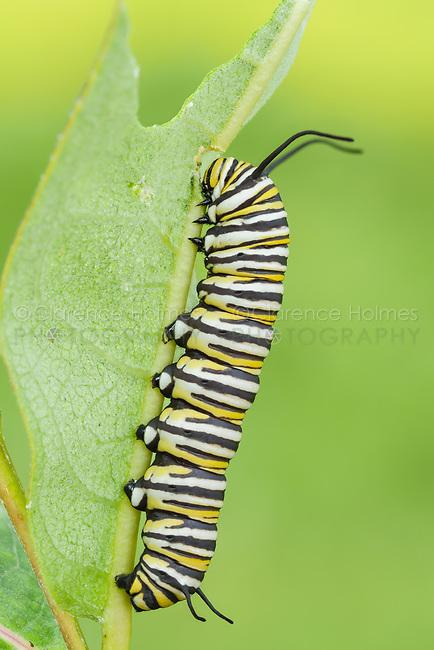 Monarch Butterfly (Danaus Plexippus) caterpillar (larva) 5th instar on a Milkweed plant leaf.