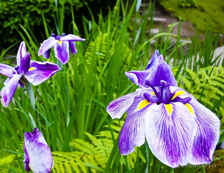 Gift card photo (set of 4) of Purple Japanese Iris in Portland Japanese Garden in the strolling garden