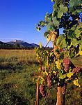 Austria, Lower Austria, Wachau, Furth near Goettweig, grape-vine, Benedictine Monastery Goettweig in the background