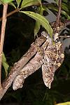 A pair of Short-horned Chameleons (Calumma brevicorne) copulating. Rainforest understorey, Andasibe-Mantadia National Park, Madagascar.