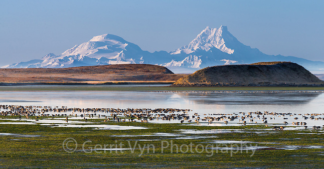Migratory Brant in Izembek Lagoon with Isanotski and Round Top volcanos in the background. Izembek NWR, Alaska.