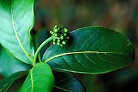 Kopiko (Psychotria mariniana) is a native Hawaiian plant, a part of the coffee family, Manoa Cliffs Trail, Honolulu