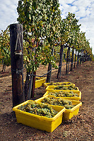 Rows of SAUVIGNON BLANC grapes vines and picked fruit at JOULLIANVINEYARDS - CARMEL VALLEY, CALIFORNIA