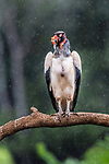 Adult king vulture (Sarcoramphus papa) in the rain. Laguna de Lagarto, Boca Tapada, north east Costa Rica (baited and photographed from a hide).