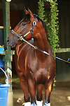August 28 2015: American Pharoah greets his admirers at barn 25 the day before the Travers at Saratoga Racetrack.  Trainer Bob Baffert. Owner Zayat Stables . Sue Kawczynski/ESW/CSM