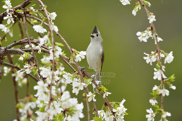 Black-crested Titmouse (Baeolophus atricristatus), adult perched on blooming Weeping Cherry Tree (Prunus sp.), Hill Country, Central Texas, USA