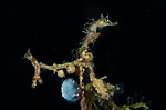 Seahorse on sargassum weed with a tiny female paper nautilus, Argonauta hians, hitching a ride on black water dive, Gulf Stream current.WPB
