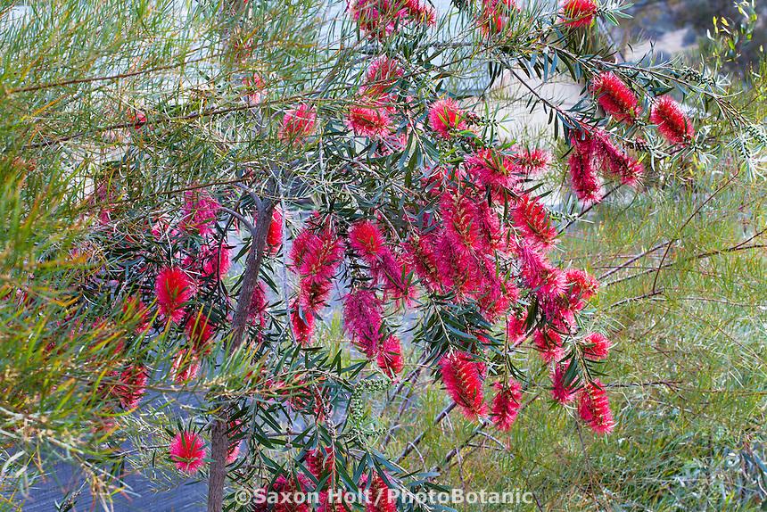 Callistemon 'Kings Park Special', red flowering summer-dry drought tolerant shrub at Australian Native Plant Nursery, Ventura, California